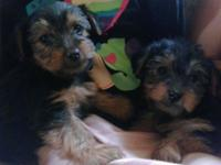 Cute 10 week old Yorkshire Terrier puppies . AKC full