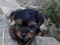 Cute 8 week old Yorkshire Terrier puppies . AKC full