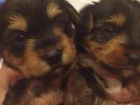 I have 2 adorable akc registered yorkies for sale! The