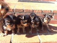 Beautiful AKC Yorkshire Terrier girl and boys for sale.