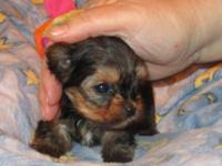 We have a beautiful yorkie litter with champion
