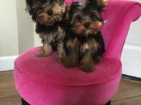 2 males, 14 wks, AKC, championship lines. T They have