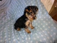 Adorable Teddy bear face Yorkshire Terrier Puppies 9