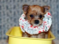 Bruce is an adorable AKC Yorkshire Terrier who is Sable