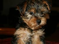 Adorable Male Yorkie For Sale Confident, healthy and