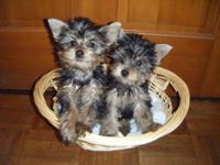 These little Yorkie babies are now ready for adoption.