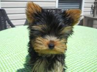 I have one male Yorkie puppy left, he should be around