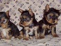 These 3 males were born on 3/16/2015 & will be ready