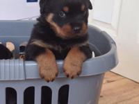 Animal Type: Dogs Breed: Rottweiler Rottweiler 18 week