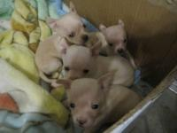 Adorable Chihuahua Puppies!! Accepting Deposits NOW!!