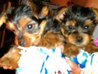 Available now are two adorable 10 week old male