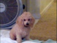 Handsome Toy Apricot Male Poodle 14 months old, 9 1/2