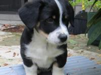 Smart, adorable Augie (Australian Shepherd and Pembroke