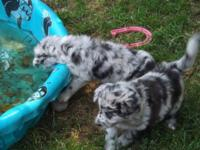 We have 3 Aussie Doodle puppies readily available for