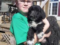 Adorable AussieDoodle Puppies, Registered. Born January