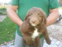 Only 1 Awesome Aussie Doodle Puppy left that is ready