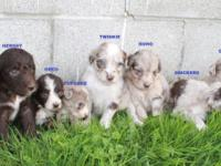 Hi, I have 7 Adorable playful little Aussiepoo puppies