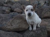 Blue and red heeler puppies prepared to go,. extremely