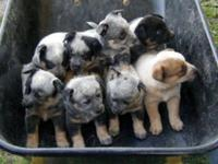 We have a litter of blue heeler young puppies for sale!