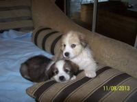 These puppies are a Registered Hybrid cross between an