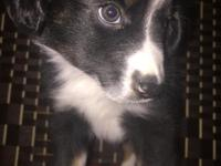 We have 5 adorable MINI Australian Shepherd pups for
