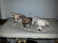 8 week old Chihuahua young puppies. All ladies, ready