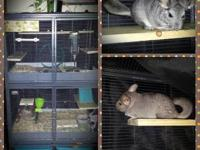 I have three baby chinchillas that are for sale. I