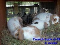 Adorable 100% purebred baby New Zealand white bunnies!