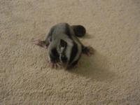 Hello, I'm the owner of two beautiful sugar glider
