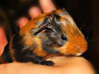 Hello, I have 5 baby guinea pigs which will be 2 weeks
