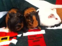 I have 4 baby guinea pigs for sale. There is 3 boys and