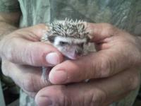 I have a litter of four baby hedgehogs will be ready on
