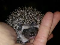 This precious ball of prickles will be ready to go home