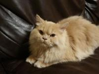 Very loving Persian /Ragdoll cats, good with kids and