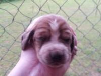 I have two male basset hounds puppies left! Taking