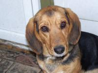 FREE- 6 month old male Bassett Hound mix puppy !!!!! He