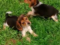 Traditional tricolored Beagle puppies they will be