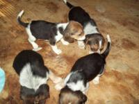 7 male puppies, all tri- Born august 1, 2015 place a
