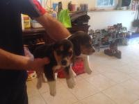 Black and brown beagle puppies for sale. Great pets or