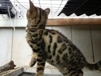 We have one adorable Bengal kitten left 14 weeks old