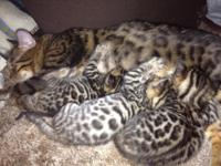 3 lovely Bengal kittens for sale! They are 3 and a half
