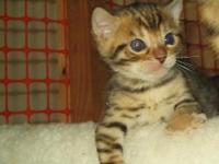 TICA-Registered Bengal kittens for sale in Myrtle