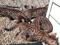 Only 3 stunning kitties left at this time..2 boys and 1