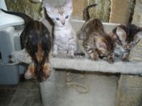 New Litter from Bear Creek Bengals. We have 3 males and