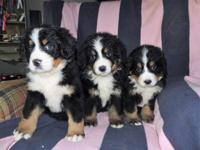 Adorable Bernese mountain dog puppies with a loving