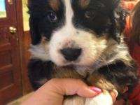 Bernese Mountain Dogs are the number 1 friendliest,