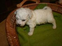 Our beautiful bichon puppies have arrived. Bichons are
