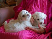Four beautiful, plump little Bichon Frise puppies, all