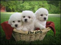 We have some adorable little bichon frise puppies