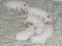Just born (Oct 22), these 8 day old bichon puppies will